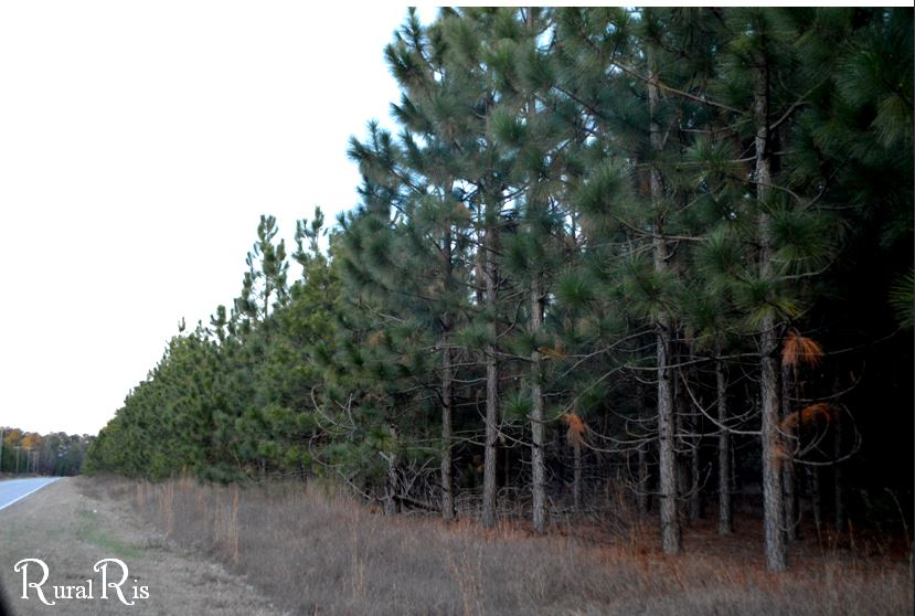Pine trees purposefully planted to later harvest for products like confetti!