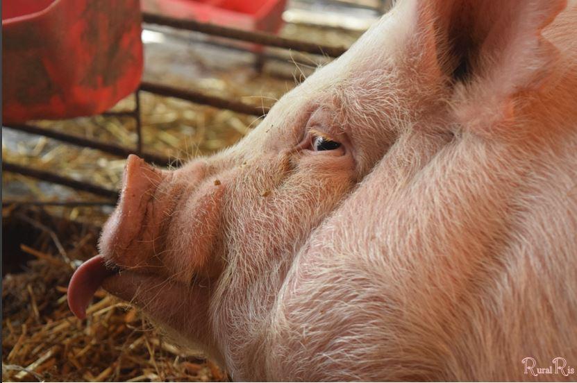 pig tongue