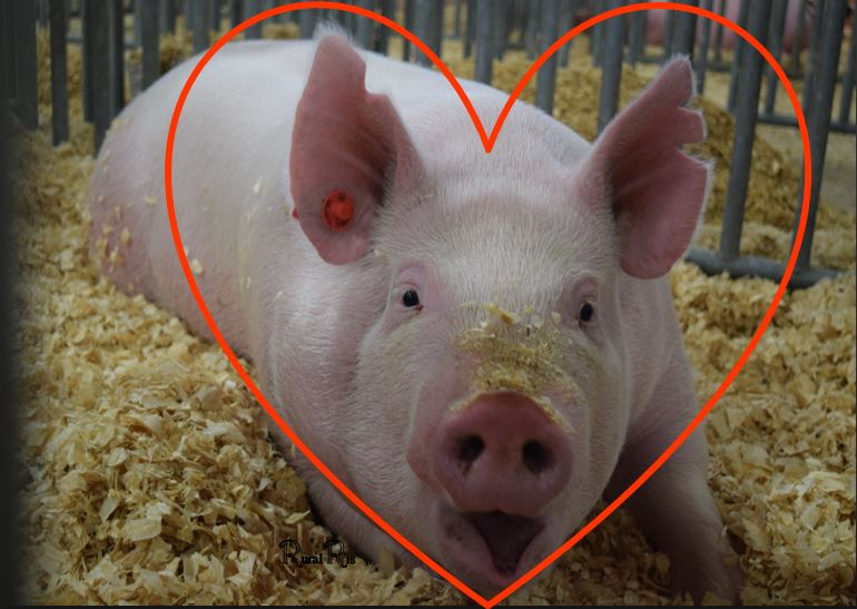 heart pigs