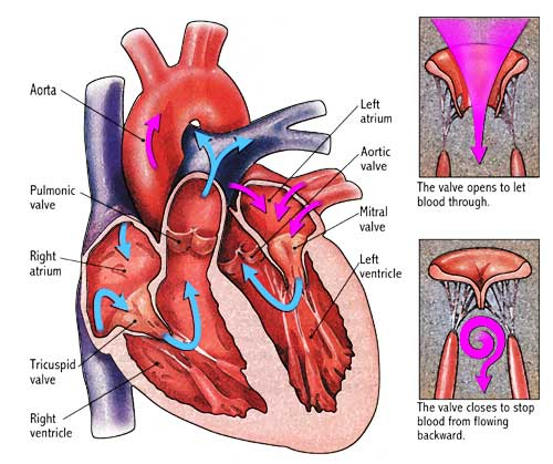 heartvalves1