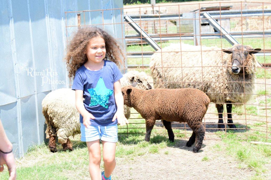 sheep and ab