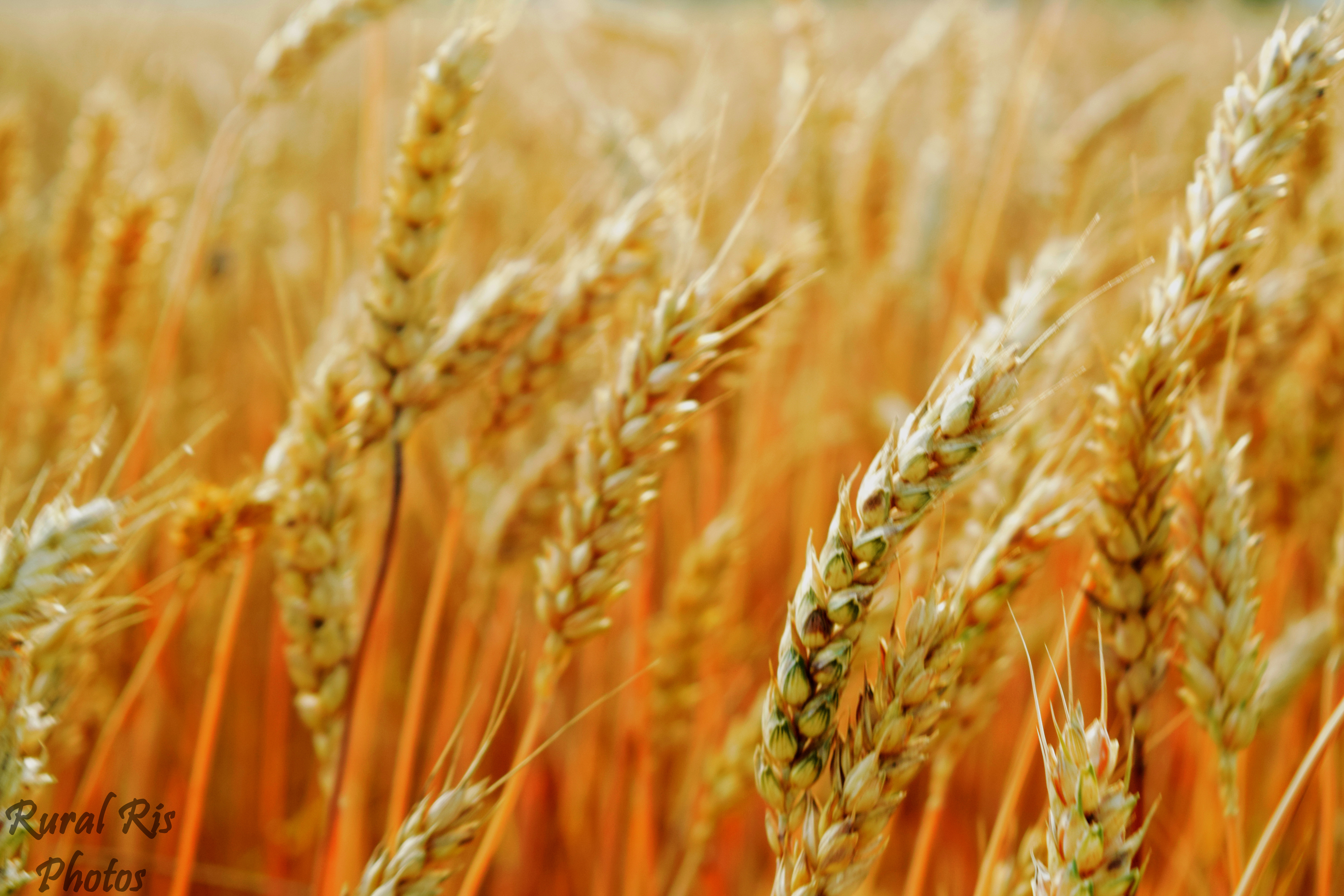 grain of wheat analysis Wheat milling process  grain standards before wheat is unloaded at a facility,  this science of analysis, blending, grinding,.