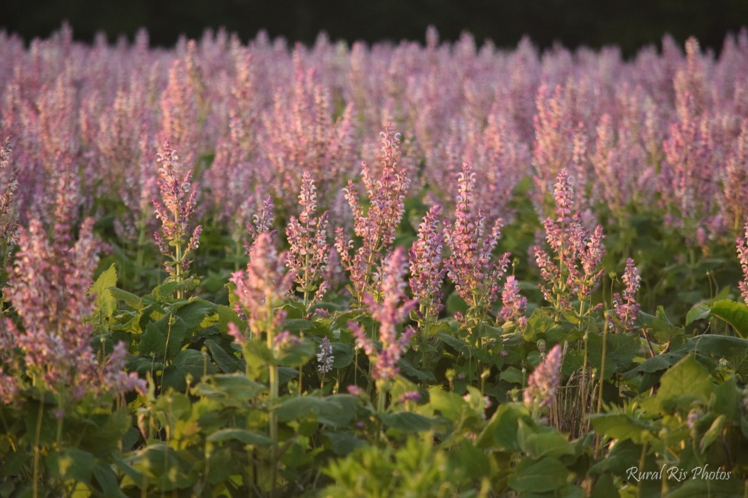 Stop Smell The Sage A Look Into Nc Clary Sage Industry